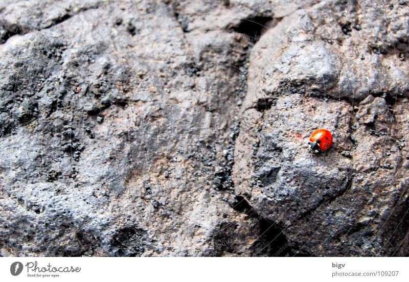 bug Volcano Beetle Stone Gray Red Lava Mount Etna Italy Ladybird hemispherical airworthy beetle Colour photo