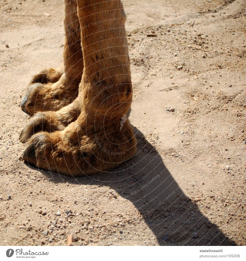 Feet Warmth Sand Legs Brown Feasts & Celebrations Stand Floor covering Africa Desert Thin Physics Long Pelt Obscure
