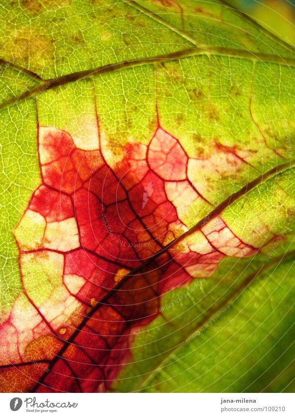 Revolutionary cells (thanks 9inchpixel) Leaf Vine leaf Rachis Vessel Red Green Autumn Light Pink Autumn leaves Transience Nature Blood Autumnal Harvest