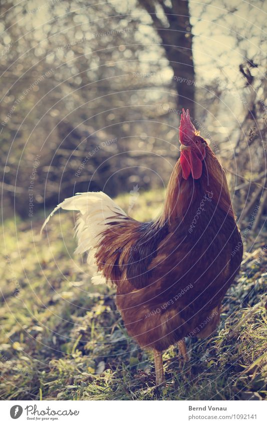 inverted chicken Animal Pet 1 Brown Yellow Green Red Rooster Cockscomb Swagger Pride Claw Beak Tree trunk Grass Agriculture Rural Feather Dog Bird Looking