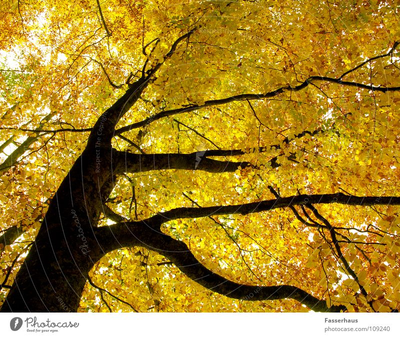 yellow tree Tree Autumn Yellow Leaf Forest Beech tree Tree trunk Branch Nature ramified outumn limb bole beech.