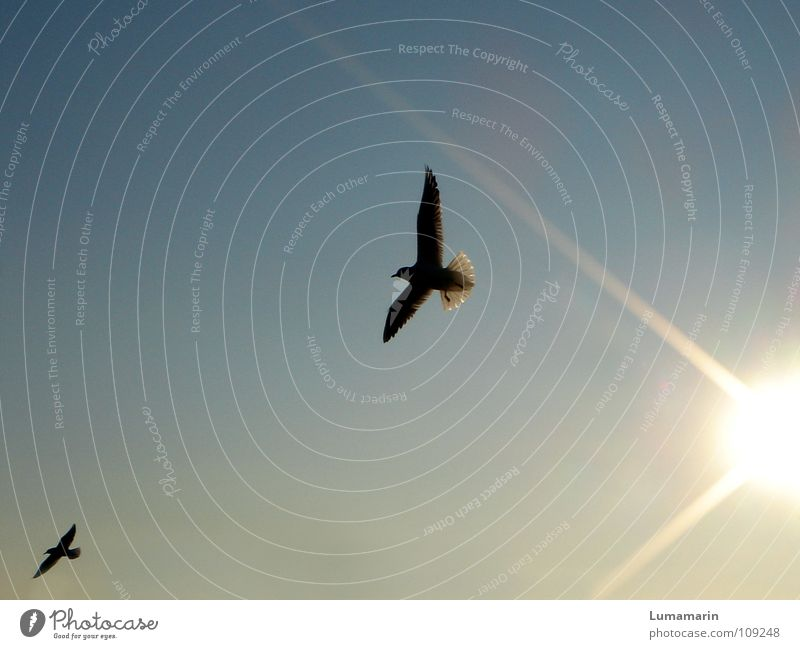 messengers of light Bird Seagull Radiation Sunbeam Sunset Glide Disperse Optimism Hope Black Yellow White Joy Sky Evening Aviation Flying Wing fly out