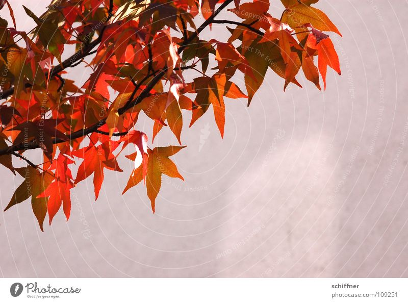 Tree Sun Red Leaf Yellow Lamp Autumn Wall (building) Orange Branch Easy Twig Autumn leaves Maple tree Airy