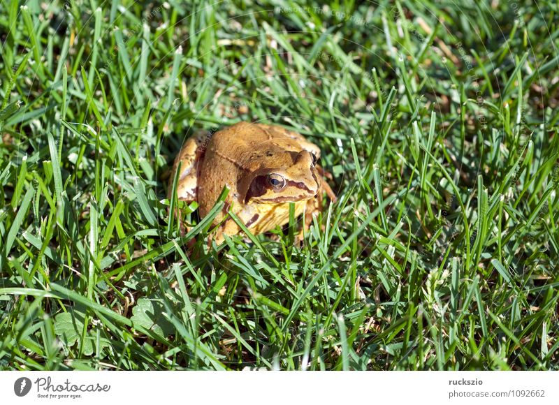 Grass frog, Rana temporaria, Nature Animal Wild animal Frog Authentic Amphibian Frogs spring frog baptismal frog marlin frog amphibians animals