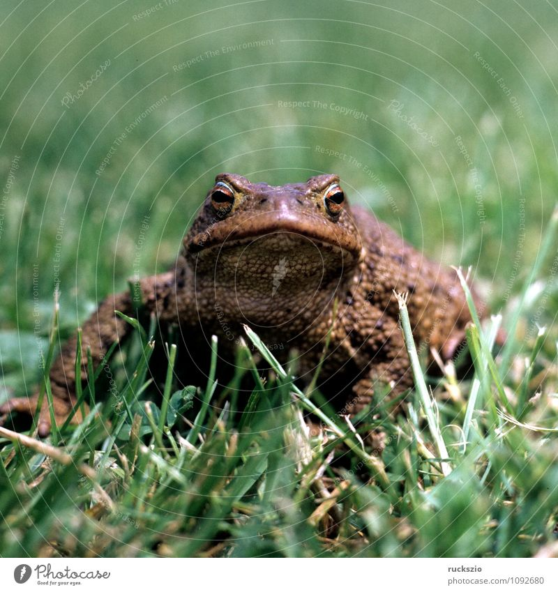 Toad, bufo bufo, earth toad, Nature Animal Wild animal Frog Brown Painted frog Common toad Amphibian frogs Jean-Baptiste Grenouille vertebrata vertebrates toads