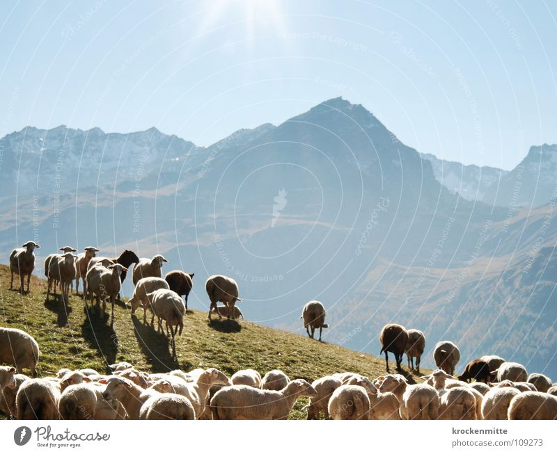 count sheep Mountain range Sheep Flock Back-light Wool Grass Switzerland Alp Flix Canton Graubünden Animal Country life Farm Pelt Lamb Meadow Sun Pasture