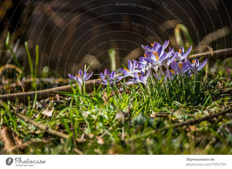 Spring - Crocuses Lifestyle Elegant Style Wellness Well-being Contentment Relaxation Calm Meditation Leisure and hobbies Environment Nature Plant Weather