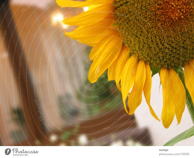 Sun Flower Yellow Garden Sunflower