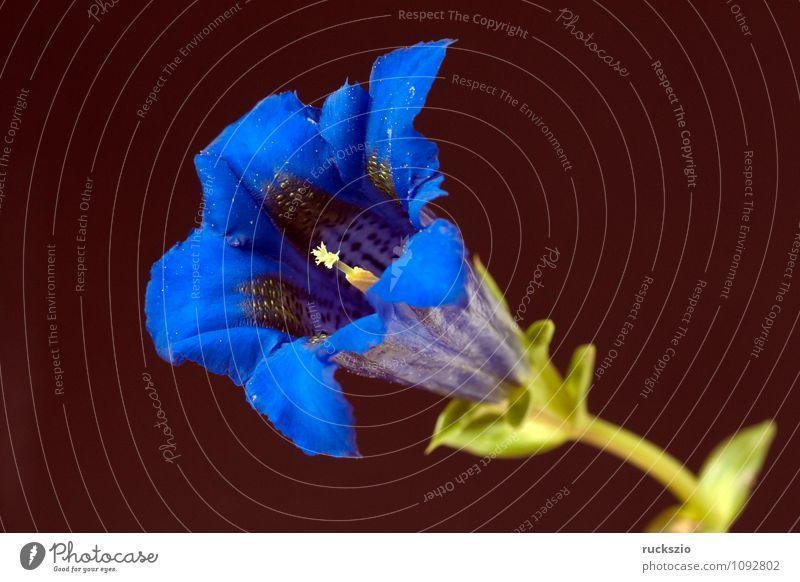 Gentian; Gentiana; acaulis; Plant Blossom Wild plant Blossoming Free Blue Black Gentian plants Strapless shrub alpine gentian boiling pan gentians Bumbled