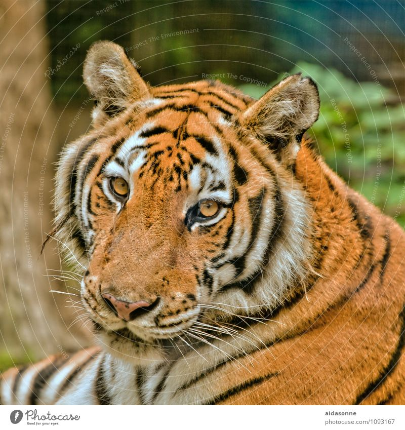 tiger Animal Wild animal Cat Animal face Pelt Tiger 1 Cool (slang) Big cat Calm Colour photo Exterior shot Deserted Day Portrait photograph