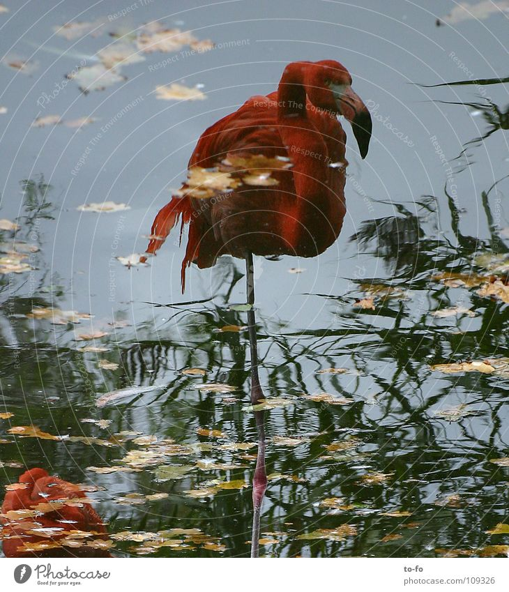 Water Animal Autumn Bird Mirror Zoo Pond Flamingo