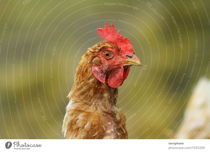 portrait of brown hen Meat Face Woman Adults Nature Animal Bird Stand Natural Brown Green Red Chicken poultry Farm head Agriculture background Domestic eye one