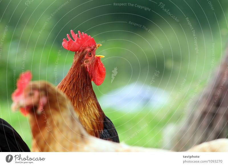 singing rooster over green background Beautiful Clock Man Adults Nature Animal Bird Stand Natural Brown Red Pride Rooster Chicken Farm poultry agriculture Crest