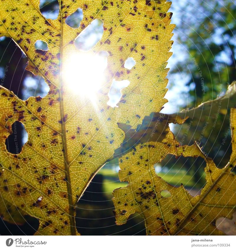 rays Light Sunbeam Sunlight Leaf Hollow Autumn leaves Yellow Green Back-light Winter sun Forest walk Rachis To go for a walk Water Beam of light Autumnal Blue