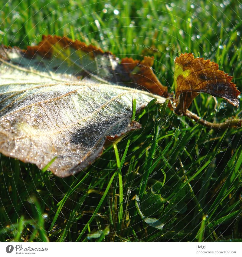 White Green Leaf Yellow Cold Autumn Meadow Grass Garden Park Brown Glittering Drops of water Wet Lawn Lie