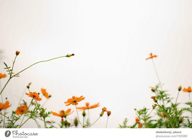 white / orange Cosmos Light Orange cloudy flower atmosphere Air
