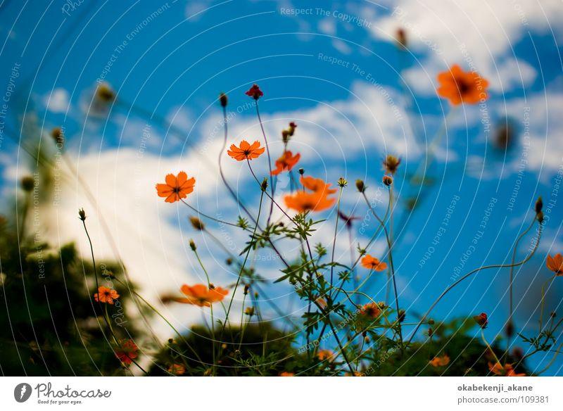 blue / orange Sky Cosmos Orange cloudy flower light atmosphere Air