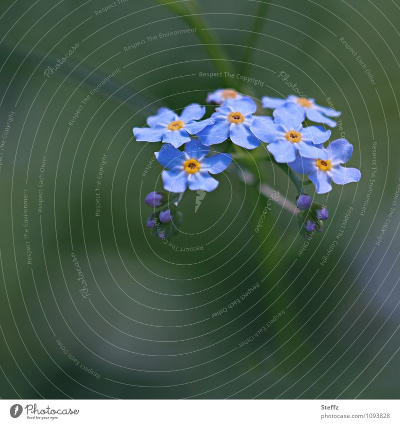 Nature Blue Plant Green Summer Flower Blossom Blossoming Romance Memory Blossom leave Loyalty Flowering plant Wild plant Remember Forget-me-not