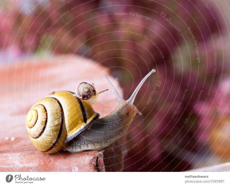 banded snail Body House (Residential Structure) Garden Animal Crawl Exceptional Large Small Near Slimy Crumpet snails Plagues Mollusk mollusc Mucus creeping