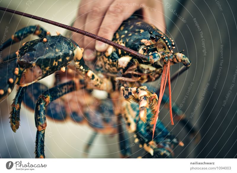 hummer Food Seafood Nutrition Organic produce Vegetarian diet Diet Life Man Adults Hand Animal Simple Fresh Large Natural Brown Red Safety Healthy Pure Lobster