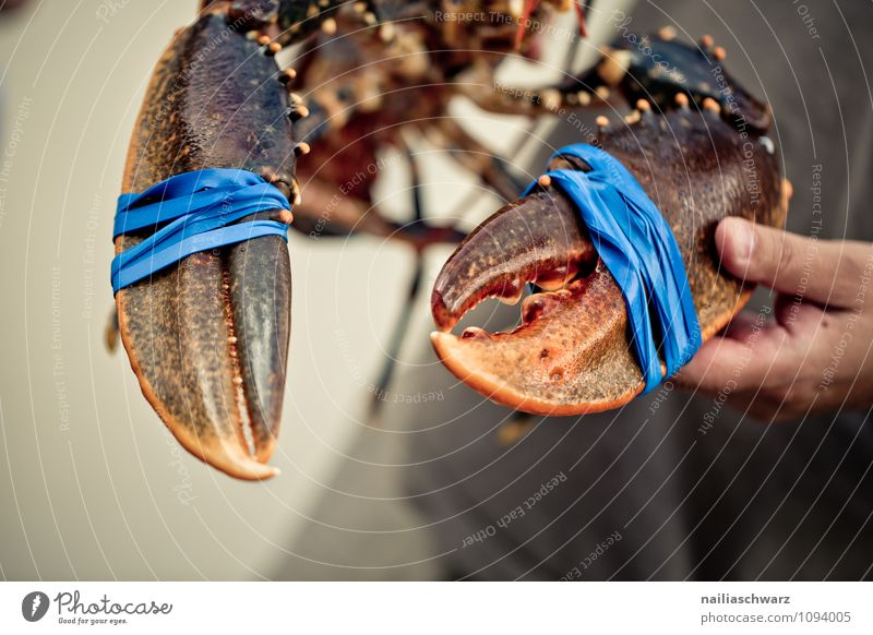 Fresh live lobster Food Seafood Nutrition Organic produce Life Man Adults Hand Animal Wild animal Claw 1 Large Delicious Natural Beautiful Blue Brown Red