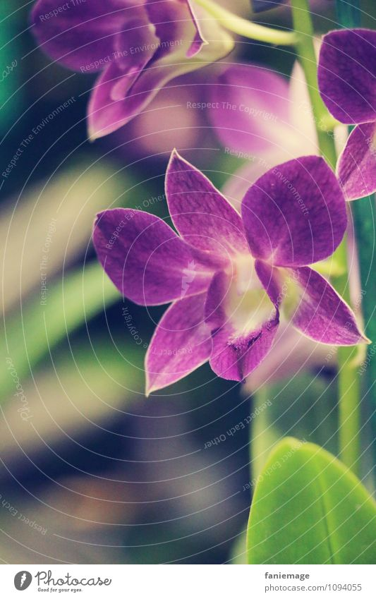 purple Nature Plant Summer Flower Orchid Leaf Blossom Exotic Decoration Beautiful Violet Flowering plant Calyx Green Stalk Subdued colour Star (Symbol)
