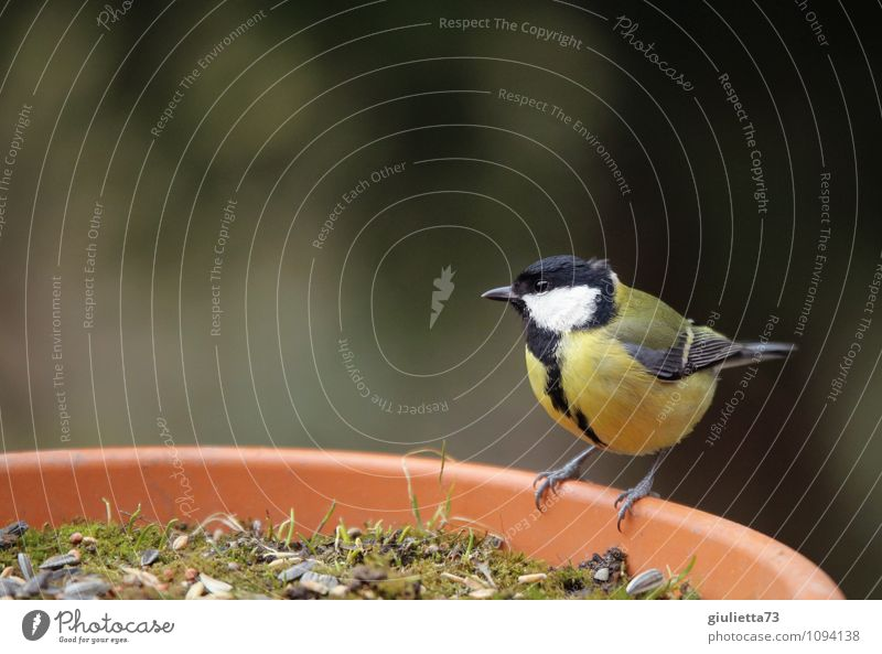 Mrs. Meise at breakfast Nature Spring Garden Animal Wild animal Bird Songbirds Tit mouse 1 Observe Sit Beautiful Small Cute Yellow Black Attentive Watchfulness