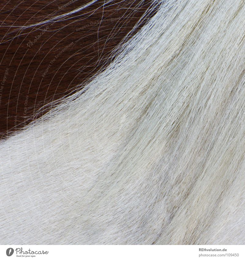 one corner dark Mane Horse Pelt Dappled Pinto Brown White Clean Two-tone Ride Animal Bridge Sporting event Competition Brush Swirl Side Hair and hairstyles