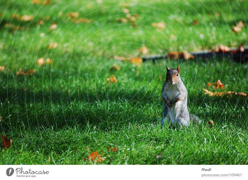 little rascal Squirrel Park Meadow Autumn Leaf Tree Sweet Cute Animal Rodent Curiosity Watchfulness Mammal Garden Branch man