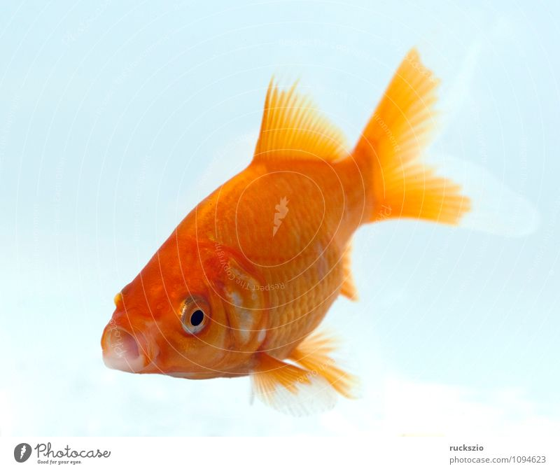 goldfish, carassius gibelio, freshwater fish Nature Animal Water Free Red White Goldfish Carassius auratus aurate cultivated breed of Carp Fish Ornamental fish