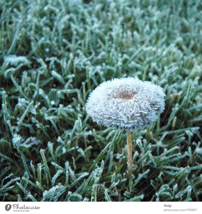 shock-frozen.... Autumn Winter Frozen Hoar frost Ice crystal Baseball cap Stalk Meadow Grass Vertical Stand Cold Freeze Glimmer Morning Green Brown White