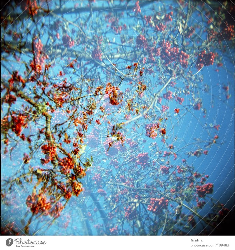 Nature Blue Red Winter Autumn Garden Park Small Fruit Growth Bushes Branch Twig Berries Poison Double exposure