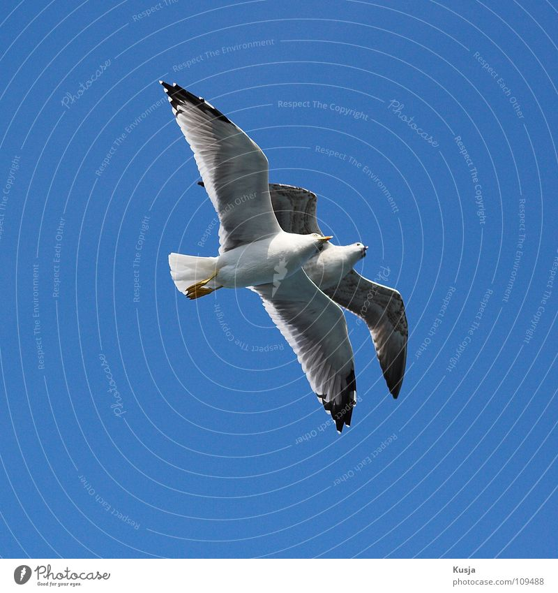 twosome Bird Seagull Together Connectedness Hover White Flying Sky Blue Pair of animals In pairs 2 Isolated Image Worm's-eye view Bright background Clear sky