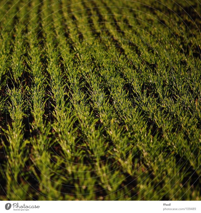 Green Plant Sand Line Field Earth Fresh Growth Gloomy Agriculture Row Harvest Furrow Smoothness Juicy Sowing