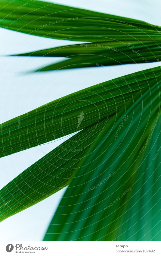 Coconut Leaf Coconut palm Coconut tree Palm frond Palm tree Bend Rachis Leaf green Palm sunday Decoration Plant Structures and shapes Curved Green Line Furrow
