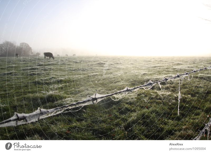 fenced Environment Landscape Plant Animal Beautiful weather Fog Tree Grass Meadow Field Pasture Farm animal Cow Cattle Cattle farming Barbed wire fence