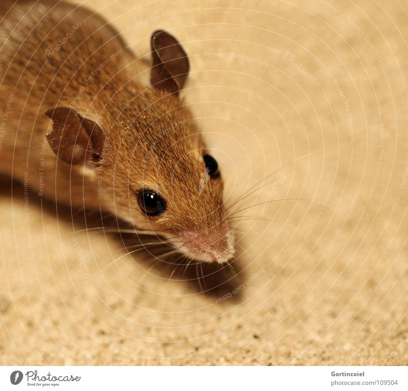 Eyes Animal Brown Small Animal face Pelt Cute Mouse Mammal Pet Rodent Whisker Diminutive Eroded Button eyes Bright background