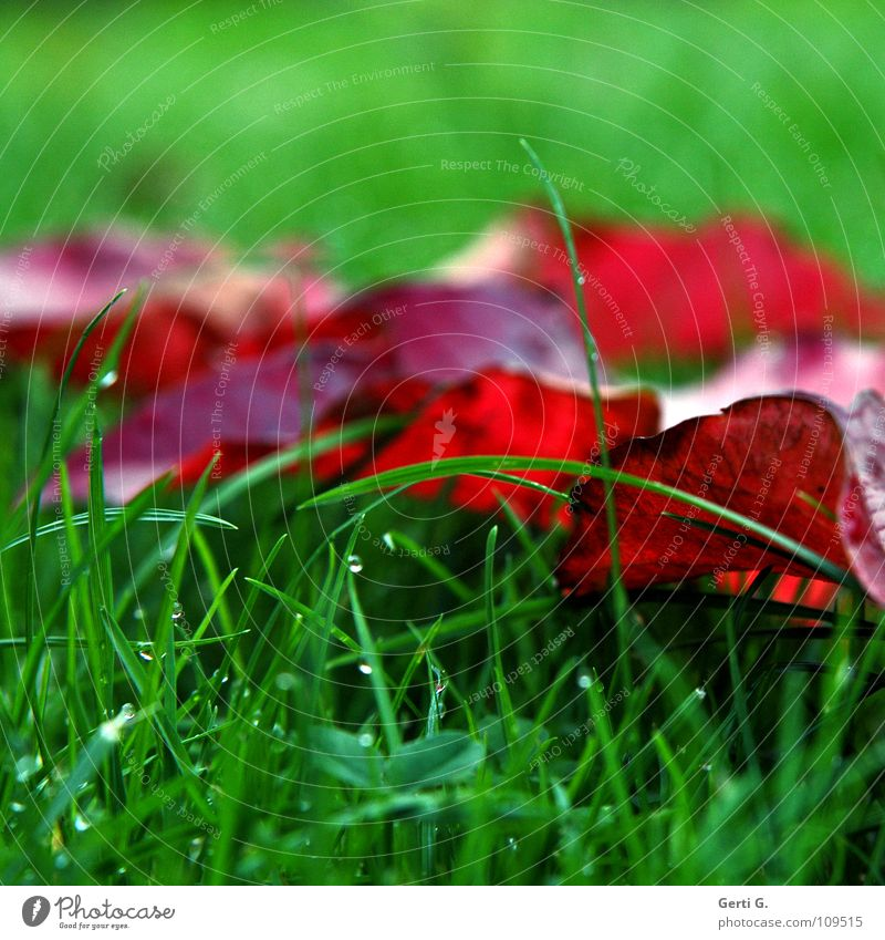 Green Red Leaf Colour Cold Meadow Autumn Grass Rain Rope Wet Drops of water Fresh Lawn Transience Damp
