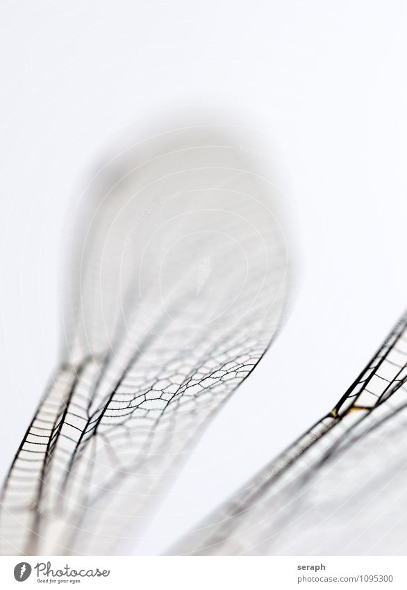 Ikarus Insect Bug Flying Nature Wild Dragonfly Animal Wing Living thing Close-up Macro (Extreme close-up) Fragile Transparent Chitin Environment Near fauna