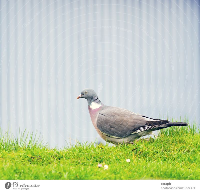 Pigeon dove Animal Bird Feather Nature Wild Wall (building) Ground Flower Meadow railing Grass Portrait photograph Looking Ornithology Wing plumage Living thing