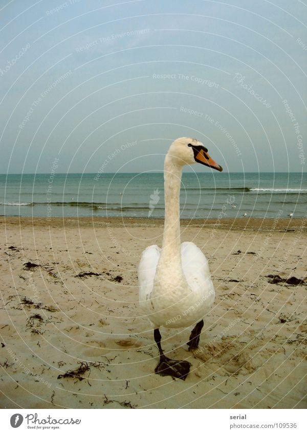 Water Beach Sand Bird Waves Coast Dangerous Near Threat Feather Beak Surf Swan Animal Defensive