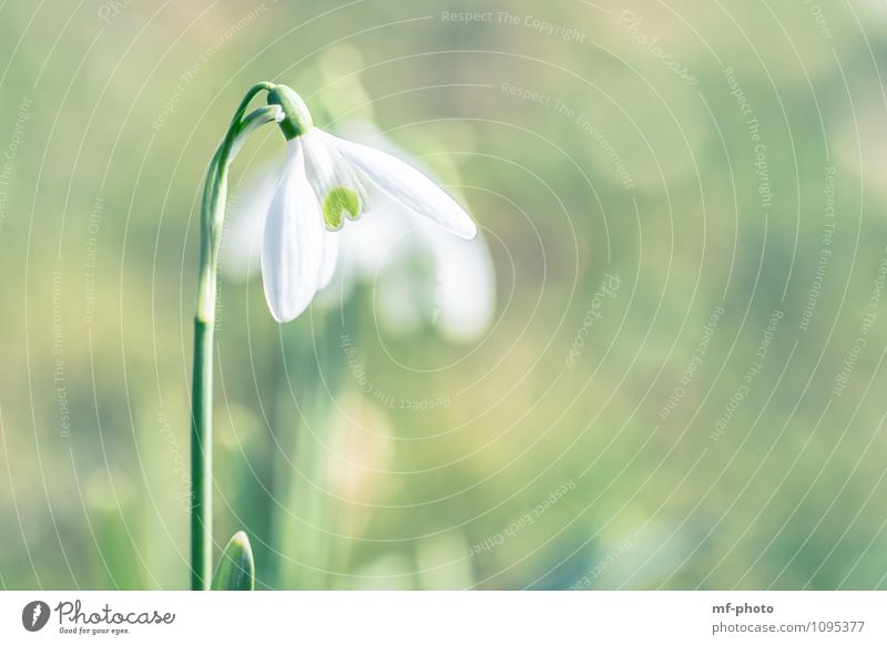 Nature Plant Green White Flower Spring Snowdrop