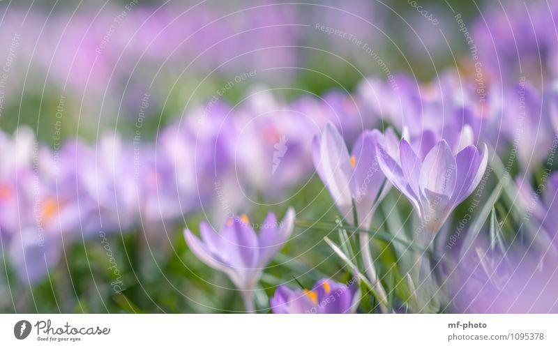 Nature Plant Green Flower Meadow Grass Garden Pink Park Violet Foliage plant Crocus
