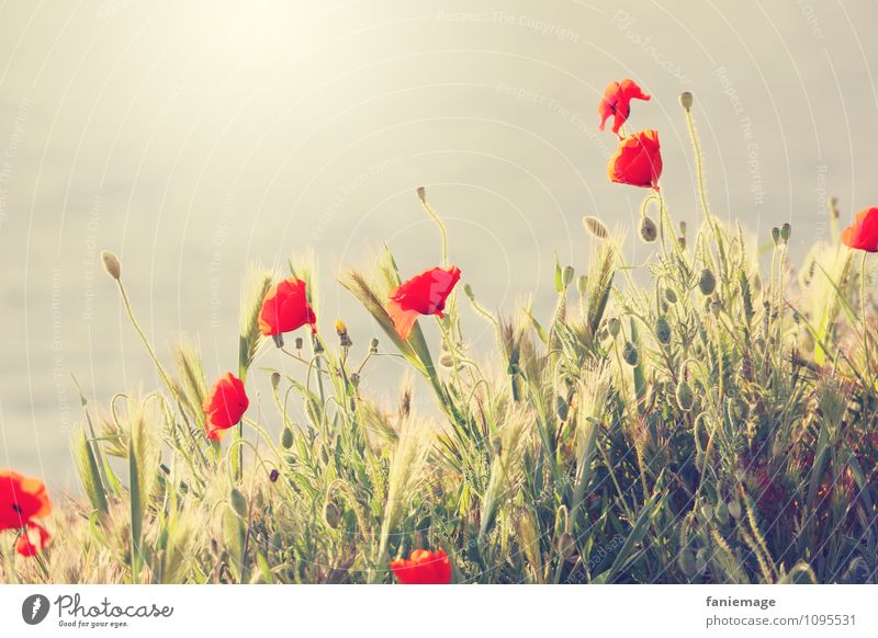 coquelicot Environment Nature Sun Sunrise Sunset Sunlight Spring Beautiful weather Blossom Meadow Field Hill Coast Poppy blossom Flower meadow