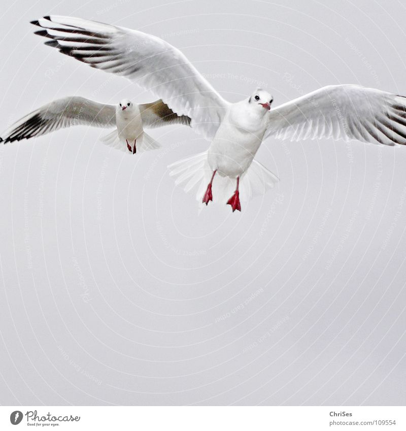 Double pilot : Silver-headed Gull ( Larus novaehollandia ) Seagull Bird Animal White Gray Black Clouds Poultry Lake Ocean Cuxhaven Autumn Sky Silver Gull