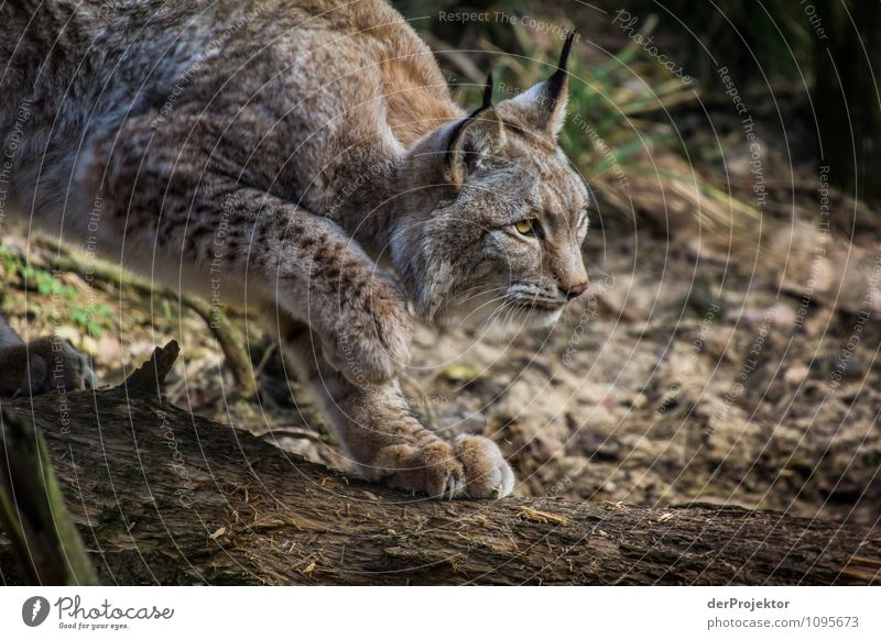 The old lynx is on his way again. Vacation & Travel Safari Expedition Mountain Environment Nature Landscape Plant Animal Beautiful weather Forest Virgin forest