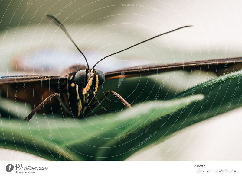 The Eagle has landed Plant Leaf Animal Wild animal Butterfly Wing Compound eye Feeler Insect 1 Sit Exotic Small Nature Easy Delicate Colour photo Close-up