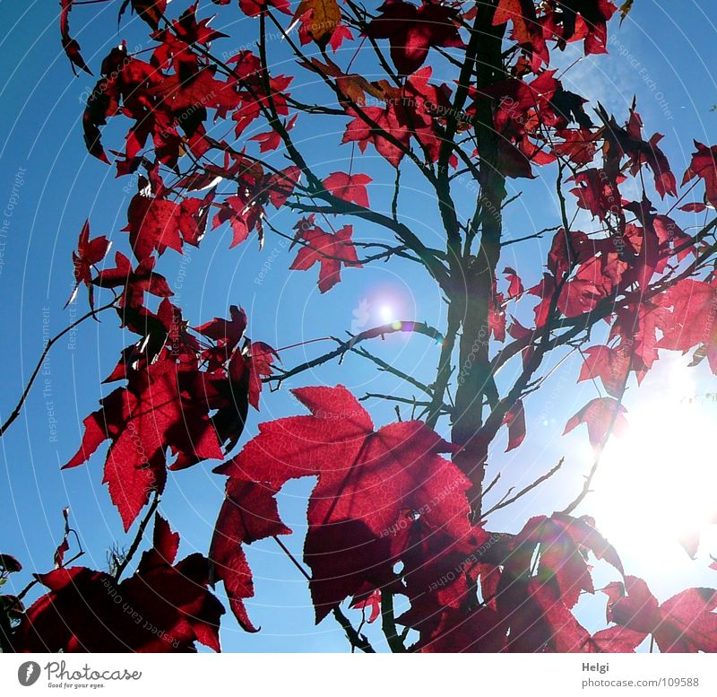 Maple tree with red autumn leaves against the blue sky Autumn Tree Leaf Maple leaf Brilliant Light Back-light Stand Vertical Together Side by side Consecutively