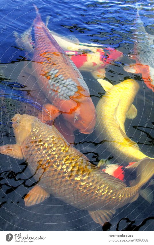 Koi Animal Pet Fish Scales Group of animals Swimming & Bathing Exotic Wet Garden pond Water Pond Multicoloured Colour photo Exterior shot Copy Space top Day