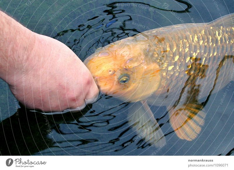 koi Animal Pet Fish Scales 1 To feed Feeding Swimming & Bathing Wet Koi Pond Garden pond Water Hand Colour photo Exterior shot Copy Space top Copy Space bottom